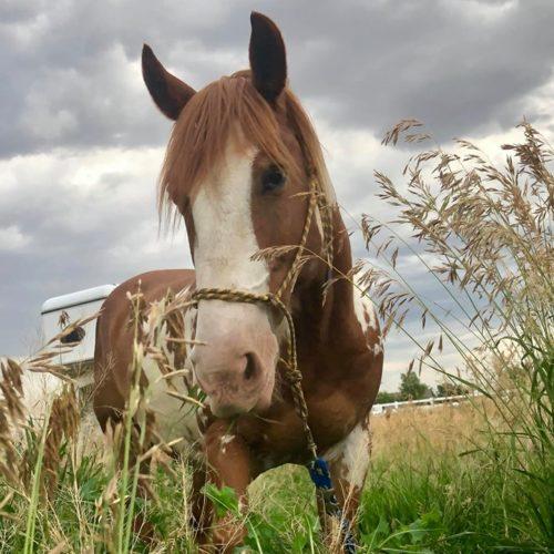 Rocky Mountain Girls Equine Hemp-Horse CBD-Equine Hemp Pellets Testimonials - Crockett and Billi D
